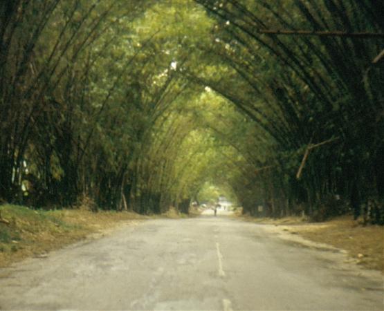 Giamaica cosa vedere: Bamboo Avenue