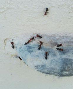 Formiche: rimedi naturali anti formiche