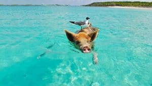 Le spiagge più strane del mondo, Pig Beach