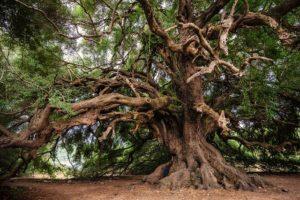 Festa degli Alberi, antico albero