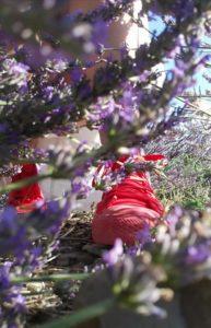 Scarpette rosse in giro per i campi di lavanda