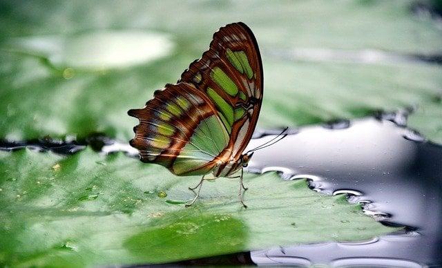 Farfalla su una foglia che galleggia