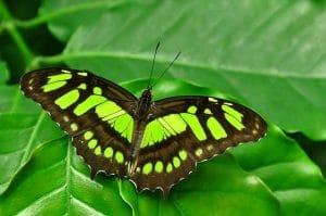 farfalla verde e marrone su foglia